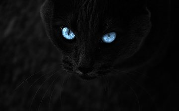 eyes, cat, mustache, look, black, the dark background, blue eyes
