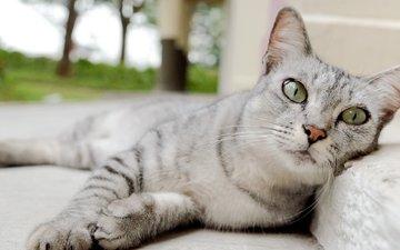 глаза, морда, кот, усы, лапы, серый, уши, нос