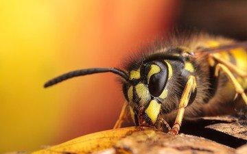 глаза, полоски, насекомое, усы, крылья, тело, оса