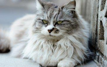 глаза, шерсть, кошка