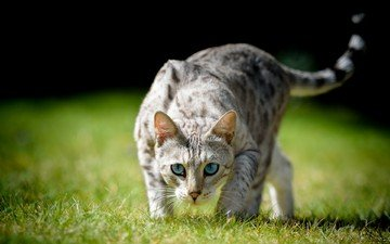 глаза, трава, кот, взгляд, охота, хвост