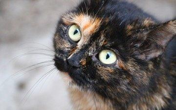 глаза, кот, усы, кошка, взгляд, мордашка
