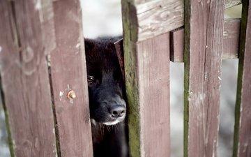 глаза, мордочка, грусть, взгляд, забор, собака, г