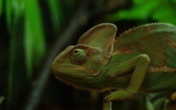 природа, фон, ящерица, хамелеон, рептилия
