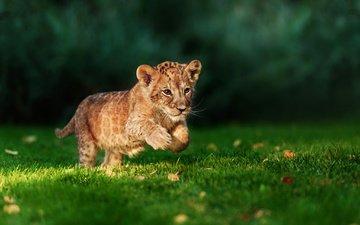 grass, predator, leo, hunter, running, lion