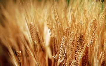 ears, wheat, bread, spikelets, harvest, gold, grain