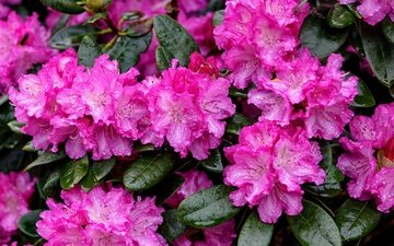цветы, листья, капли, розовый, азалия, рододендрон