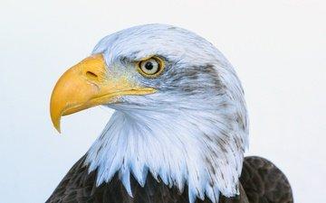 птица, клюв, перья, белоголовый орлан