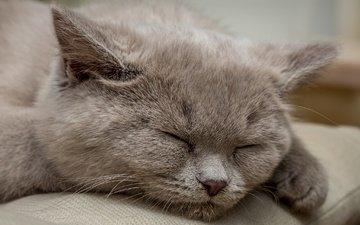 кошка, дом, уют, британская короткошерстная, jens haggren