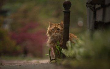 кошка, взгляд, боке, рыжий кот