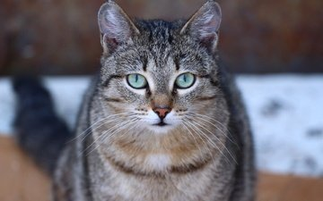 глаза, усы, кошка, взгляд, мордашка