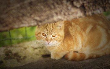 кошка, взгляд, рыжая, рыжий кот