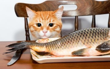 eyes, muzzle, cat, look, ears, tail, fish