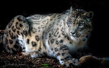 cat, look, beast, snow leopard, cheetah, irbis