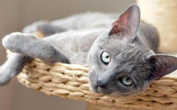 кот, кошка, взгляд, котенок, лежит, серый, сероглазый