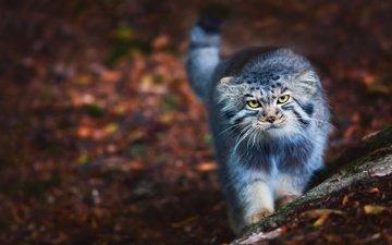 кот, пушистый, прогулка, манул, дикая кошка