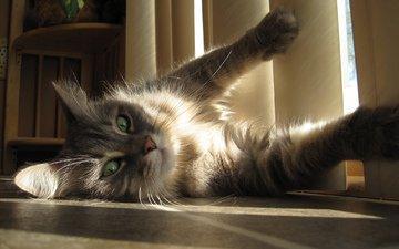 кот, усы, лапы, кошка, взгляд, окно