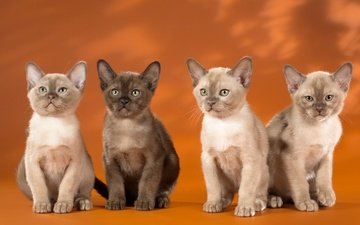 eyes, muzzle, look, cats, kittens, quartet, siamese, burma