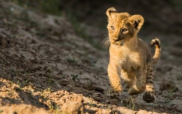 eyes, muzzle, look, kitty, walk, leo, lion
