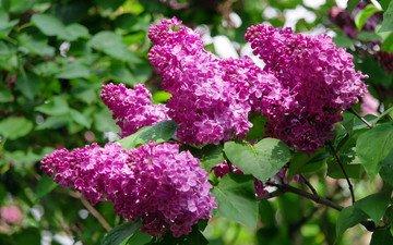 flowering, spring, beautiful, lilac, kiev, botanical garden