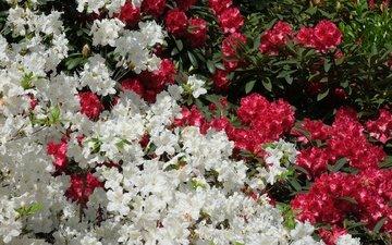 цветы, красные, белые, азалия, рододендрон