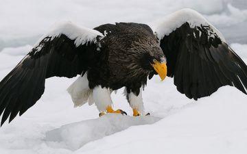 крылья, орел, хищник, клюв, перья, орлан-белохвост