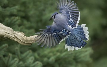 крылья, птица, перья, коряга, хвост, голубая сойка
