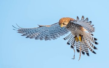 flight, wings, birds, predator, kestrel