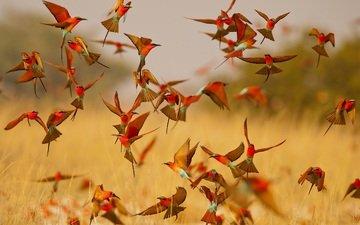 крылья, птицы, клюв, много, стая, щурка, карминная щурка