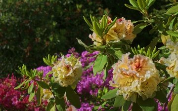 цветы, листья, куст, азалия, рододендрон