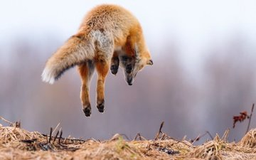 лапы, прыжок, лиса, лисица, животное, охота, хвост, в воздухе