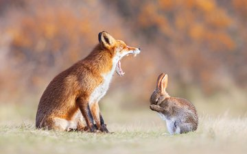 животные, лапы, рыжая, лиса, зубы, уши, пасть, заяц