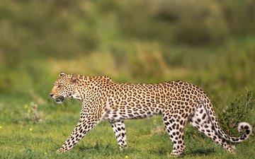 леопард, хищник, дикая кошка, грация