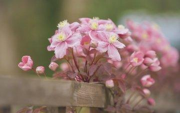 цветы, лепестки, забор, боке, клематис, ломонос, бутончики