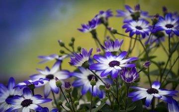 цветы, лепестки, бутончики, цинерария