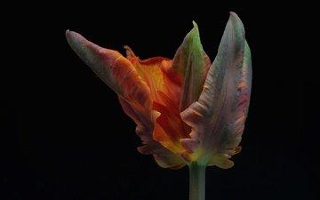 цветок, лепестки, черный фон, тюльпан