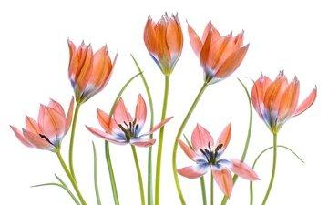 цветы, лепестки, тюльпаны, белый фон