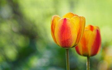 цветок, лепестки, весна, тюльпан