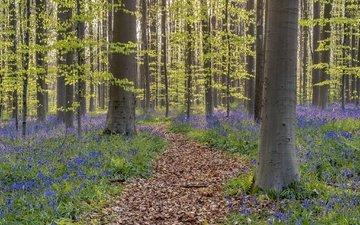 цветы, деревья, лес, тропинка, весна, колокольчики, бельгия, walloon brabant