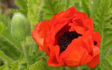 flowers, buds, leaves, summer, petals, red, mac