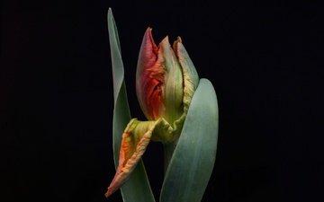 листья, цветок, бутон, черный фон, тюльпан