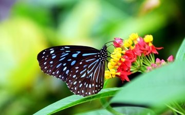 листья, насекомое, цветок, бабочка