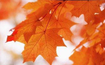 природа, листья, фон, краски, осень, клен