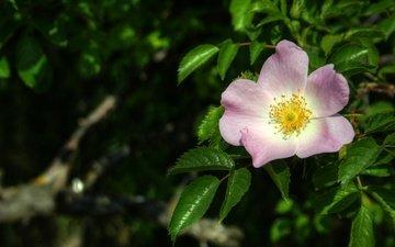 листья, макро, цветок, весна, шиповник
