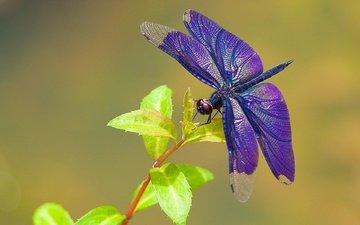 листья, макро, насекомое, крылья, стрекоза, веточка, паутинка