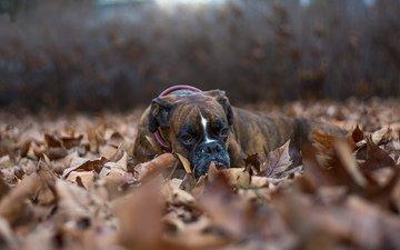 листья, взгляд, осень, собака, друг, боксер