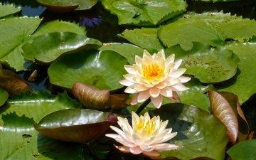 цветы, листья, кувшинки, нимфея, водяные лилии