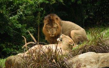 foliage, stone, pair, lions, leo, lioness