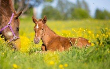 цветы, лошадь, трава, луг, лошади, боке, жеребенок