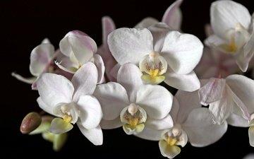 цветы, макро, черный фон, белая, орхидея